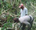 Nahas,Yuventus Tewas Tertimpa Pohon saat Menarik Kayu di Lokasi Senso