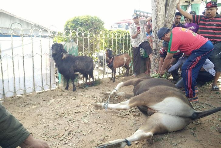 Panitia Hewan Kurban di Ruteng Bagikan 954 Kantong Daging