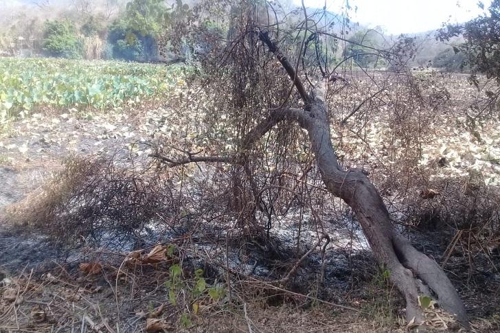 Danau Lotus Terbakar, Camat Sambi Rampas : Teratai Tonjong Bisa Tumbuh Lagi Secara Alami